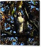 Red Tailed Hawk In Tree Canvas Print