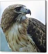 Red-tailed Hawk Profile Canvas Print