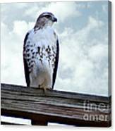 Red Tailed Hawk Waiting Canvas Print