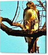 Red-tailed Hawk Watching Canvas Print