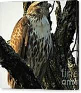Red Tailed Morning Canvas Print