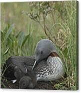 Red-throated Loon With Chick On Nest Canvas Print