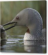 Red-throated Loon With Fish Alaska Canvas Print