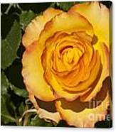 Red-tipped Yellow-orange Rose Canvas Print