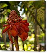 Red Torch Ginger Lily In Hawaii Canvas Print