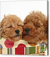 Red Toy Poodle Puppies Canvas Print