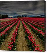 Red Tulip Rows Canvas Print