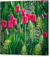 Red Tulips In Skagit Valley Canvas Print