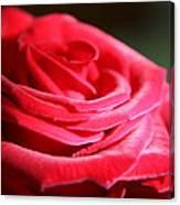 Red Velvet Rose By Morning Light  Canvas Print
