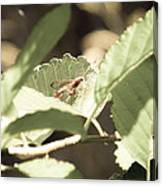 Red Wasp Canvas Print