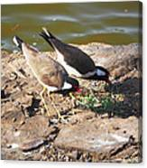 Red-wattled Lapwing Canvas Print