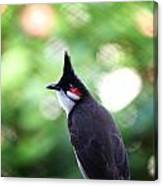 Red Whiskered Bulbul Canvas Print