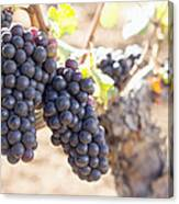 Red Wine Grapes Growing On Old Grapevine Canvas Print