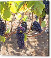 Red Wine Grapes Hanging On Grapevines Canvas Print