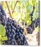 Red Wine Grapes Hanging On Grapevines Vertical Canvas Print