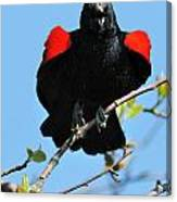 Red Wing Blackbird 1 Canvas Print