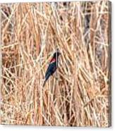 Red Wing Blackbird  Canvas Print