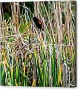 Red-winged Black Bird In The Cattails Canvas Print