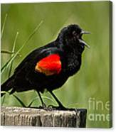 Red-winged Blackbird Singing Canvas Print
