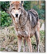 Red Wolf Alert Canvas Print
