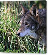 Red Wolf On The Hunt Canvas Print