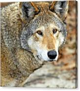 Red Wolf Portrait Canvas Print