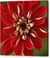 Red Zennia Canvas Print