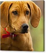 Redbone Coonhound - Man's Best Friend The Hound Dog Canvas Print