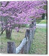 Redbud And Fence Canvas Print