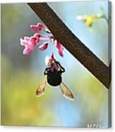Redbud And The Bumble Canvas Print