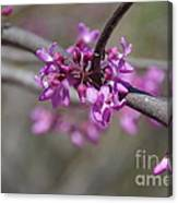Redbud Blossom Canvas Print