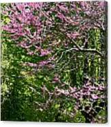 Redbud In The Woods Canvas Print