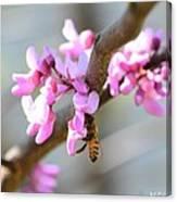 Redbud Pollinator Canvas Print
