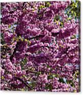 Redbud Tree In Blossom Canvas Print