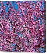 Redbud Tree With Dense Blossoms Canvas Print