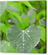 Redbud Water Droplets Canvas Print