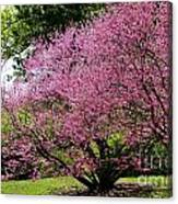 Redbuds In Action Canvas Print