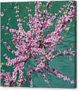 Redbuds Over San Antonio River Canvas Print