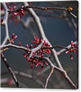 Redbuds Ready To Pop Canvas Print