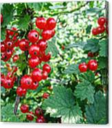 Redcurrant Berries Canvas Print