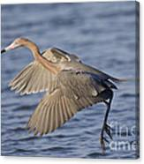 Reddish Egret Dance Fishing Canvas Print