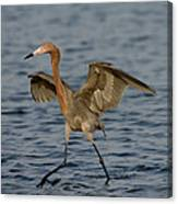 Reddish Egret Doing Fishing Dance Canvas Print