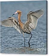 Reddish Egret Fishing Canvas Print