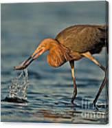 Reddish Egret Strike Canvas Print