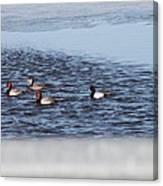 Redhead And Scaups Ducks Canvas Print