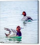 Redhead Ducks Canvas Print