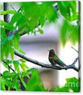 Redneck Humming Bird Canvas Print