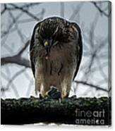Redtail Hawk And Mouse Canvas Print