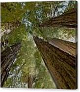 Redwood Canopy Canvas Print