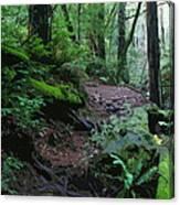 Redwood Forest Scene 1 Canvas Print